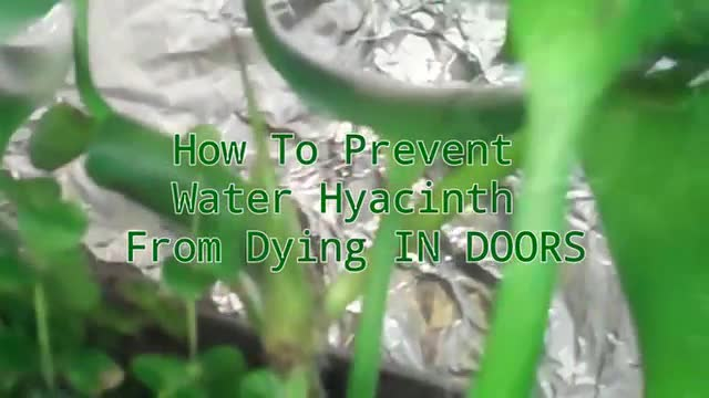 Pondscape Us 2013 How To Prevent Water Hyacint By